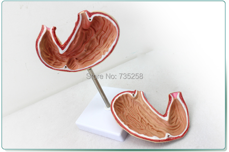Gastric Anatomy Model,Digestive System Anatomical Model gastric anatomy model bix a1045 g149