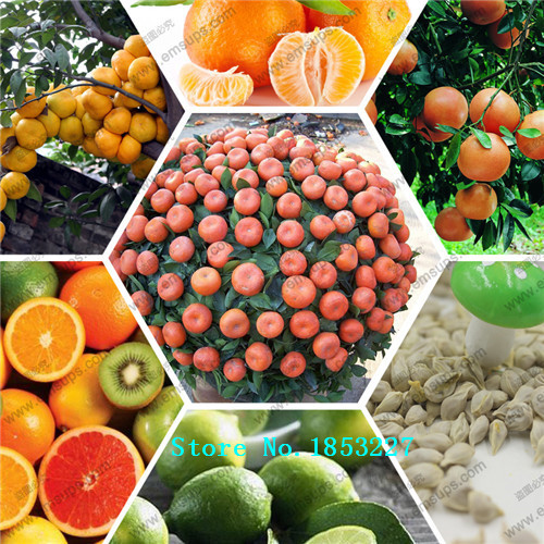 GGG Potted Edible Fruit Seeds mini Bonsai Orange Seeds China Climbing Orange Tree Seeds 100% fresh 20 PCS / bag