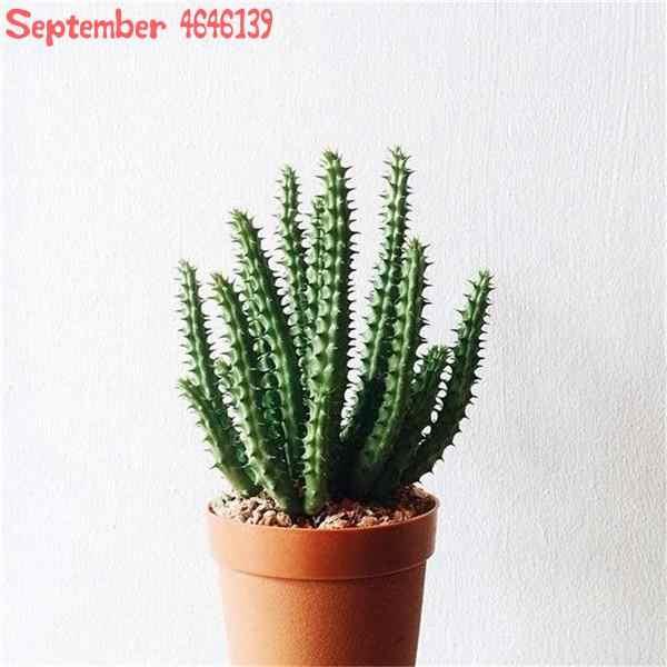 100 Pcs קקטוס בונסאי לערבב אורגני נוי צמחים בשרניים יוצא דופן, למנוע קרינה מעורב סלון אבנים עסיסי קקטוס