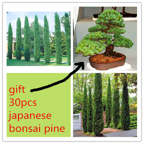 30/bag <font><b>italian</b></font> cypress seeds + 30pcs japanese pine tree seeds as gift rare tree seeds bonsai for <font><b>home</b></font> <font><b>decoration</b></font> plant sementes