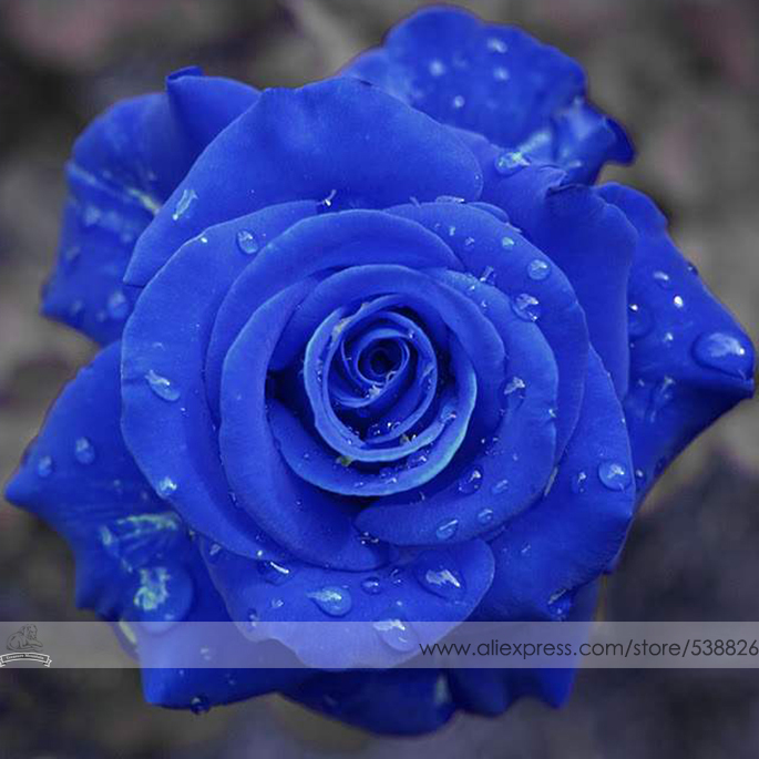 Tinted blue rose delivery straight from our family farm to your loved ones. Get the fresh roses at the best prices by doing business directly with a family run rose farm. Every order is carefully cut and packed only after the order is placed insuring you only get the freshest roses/5().