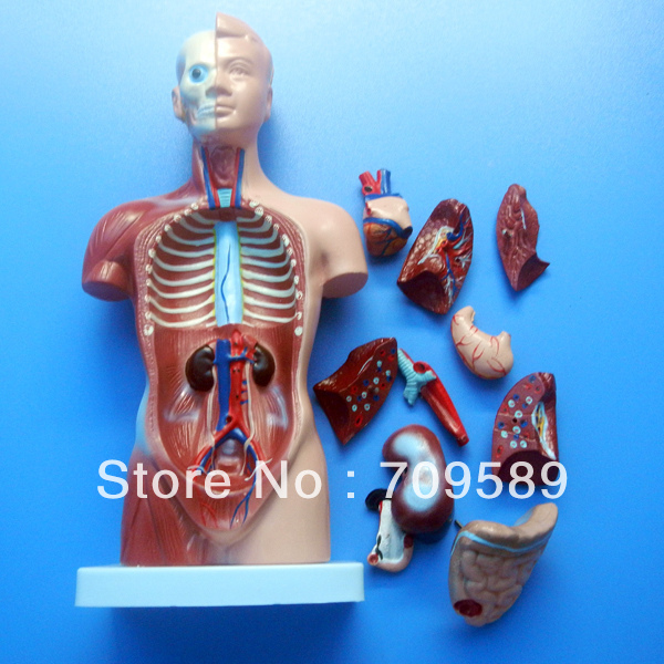≧ISO Deluxe 85 cm torso humano con los órganos internos, 23, unisex ...