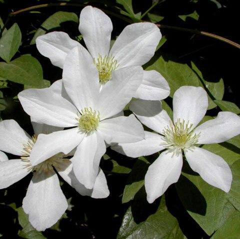 эухарис цветы комнатные с доставкой из России