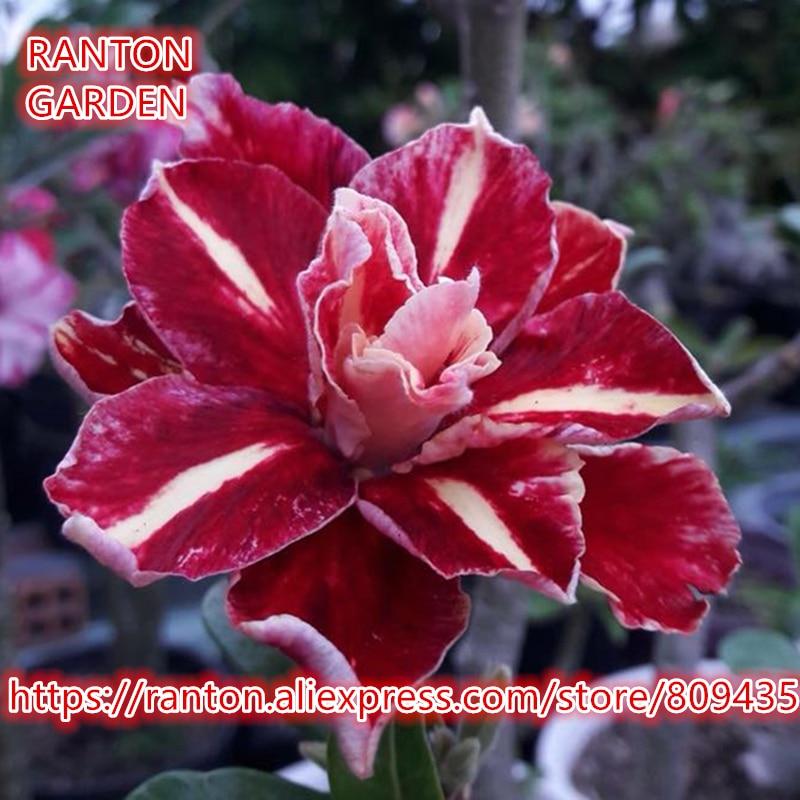 RANTON GARDEN New Multi-layer Deep Rose Desert Rose Seeds, Rare beautiful Adenium Obesum Seeds Home Garden Flowers Seeds
