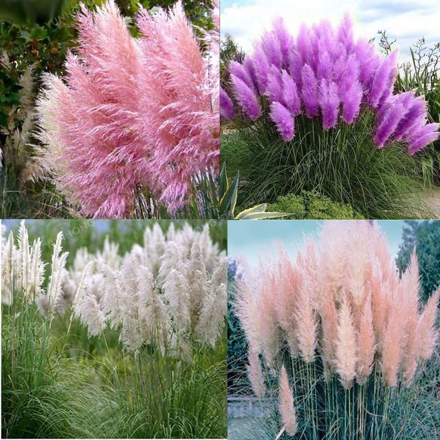 Beautiful Colorful Pampas Grass Bonsai Garden Plants 500 Pcs
