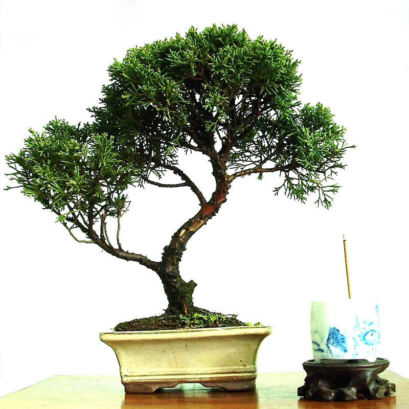 Buy 60 Pcs Hot Sale Perennial Tree Seeds