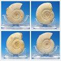Pavlov large variety of natural Madagascar ammonite fossils specimen original stone ornaments