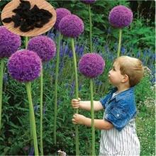 10 шт./упак. Гигантские Allium Giganteum Семена Главная Сад Фиолетовый Красивый Цветок Семена