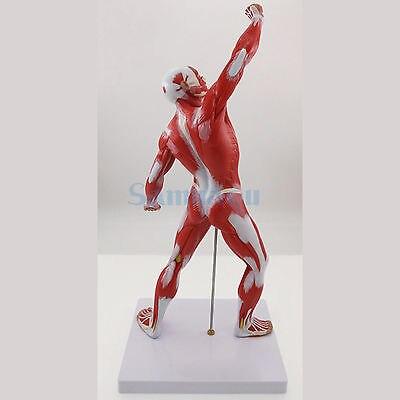 Menschliches Skelett und Muskel System Anatomie Biologieunterricht ...