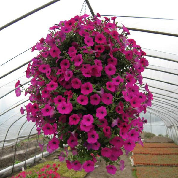 Loss Promotion!!!Hanging petunia seeds,Balcony potted trailing petunia flower seeds,about 100 particles