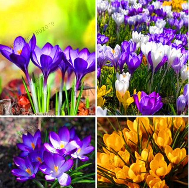 Lowest Price! 20 pcs/bag Many varieties Saffron flores Saffron Flower plantas Saffron Crocus plante bonsai plant for home and ga