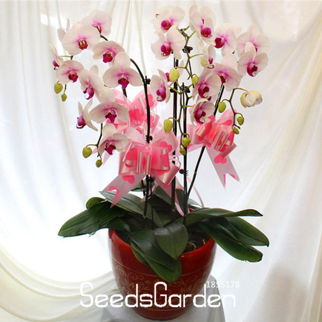Time-Limit!!200 PCS White Phalaenopsis garden Butterfly Orchid Potted plant Indoor Flowers Bonsai Four Seasons,#T4GU0L