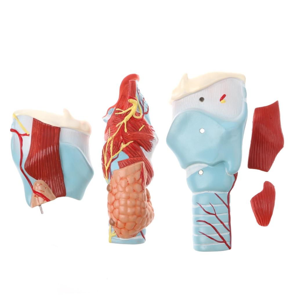 Magnification 2x Human 5 Parts Pharynx and Larynx Model Medical Study Kits Lab Supplies