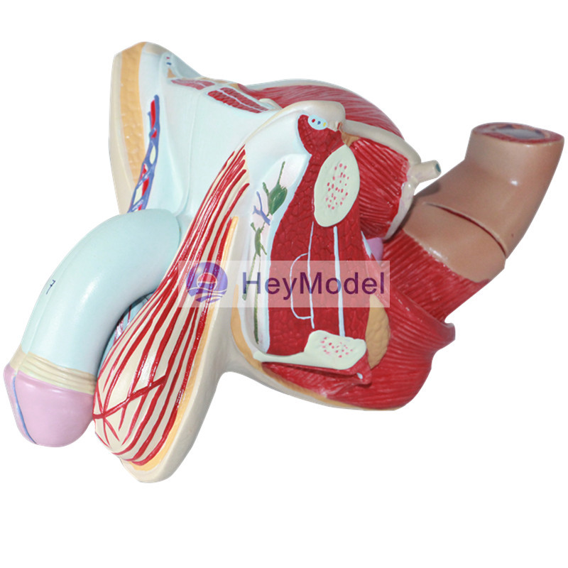 HeyModel Male and female genital mutilation model male reproductive system model testicular urinary system anatomical model human anatomical male genital urinary pelvic system dissect medical organ model school hospital