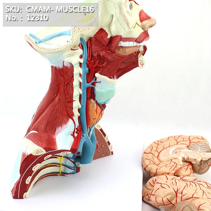CMAM / 12310 Lihas, pea aju, 3-osaline, plastiline inimese keha lihasõpetuse anatoomiline mudel