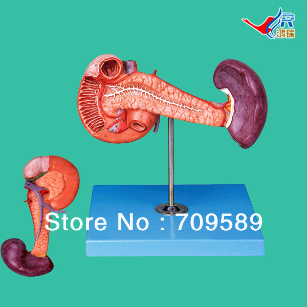 ISO Anatomical Pancreas with Spleen and Duodenum Model 3 1 human anatomical kidney structure dissection organ medical teach model school hospital hi q