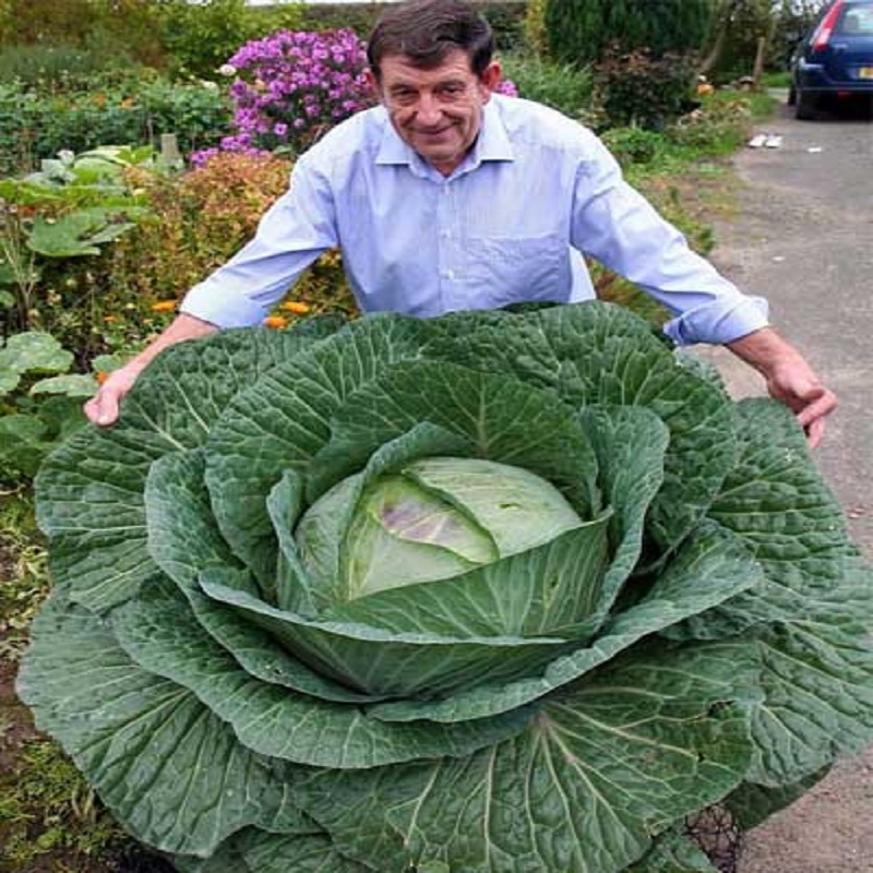 200 Seeds Rare Giant Russian Cabbage Seeds, High-Quality Vegetable for home garden