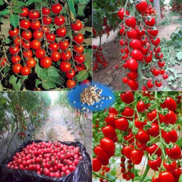 100 pièces escalade tomate comestible tomate bonsaï plantes végétales nourriture bonsaï pot maison jardin plantation 1