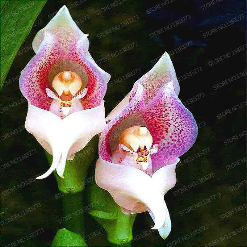 Misto di Colore 100 pz piante di Orchidee Bonsai Cicala Cymbidium Piante Rare Orchidee Fiore bonsai Tohum Giardino Semillas De Flor