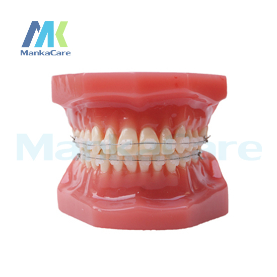 Manka Care -  28 pcs Tooth, all ceramic bracket Oral Model Teeth Tooth Model