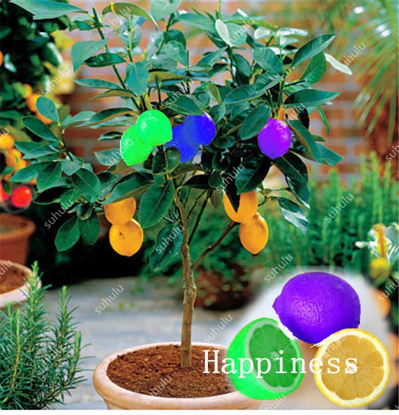 Карликовые цитрусовый бонсай мандарин оранжевый карликовые деревья съедобные лимон фрукты карликовые деревья дерево посадка здоровая еда домашний сад Легко расти 30 шт