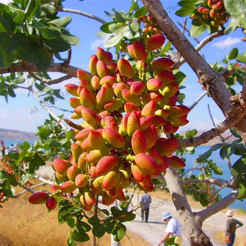 ใหม่ 2018! Nut tree Pistachios สวนหายากกลางแจ้งผลไม้ flores tropical plant bonsai plantas อร่อย 5 ชิ้น/ถุง, # EOPAI3