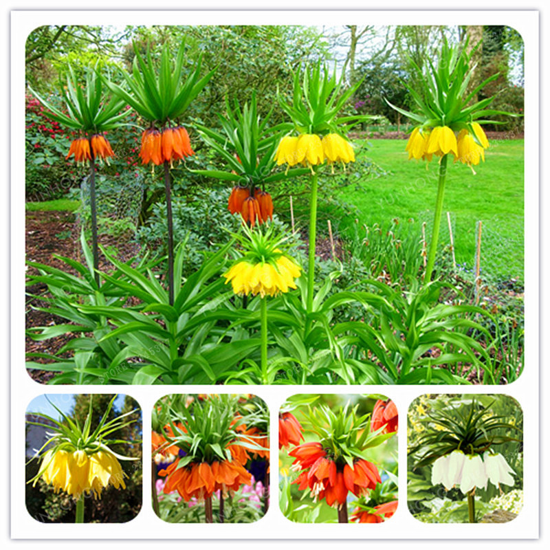 Crown imperial seeds wang fritillaria seeds easy to grow for Easy to grow outdoor plants