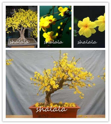 Big Promotion!100 Pcs / Lot winter Jasmine Bonsai Amazing Smell & Beautiful Flowers For Home Oenamental Garden Indoor Potted