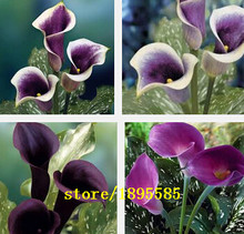 18 Colors Available Calla Lily seeds Bulbs Potted Balcony Plant Calla Can Radiation Absorption -100 pcs flower seeds