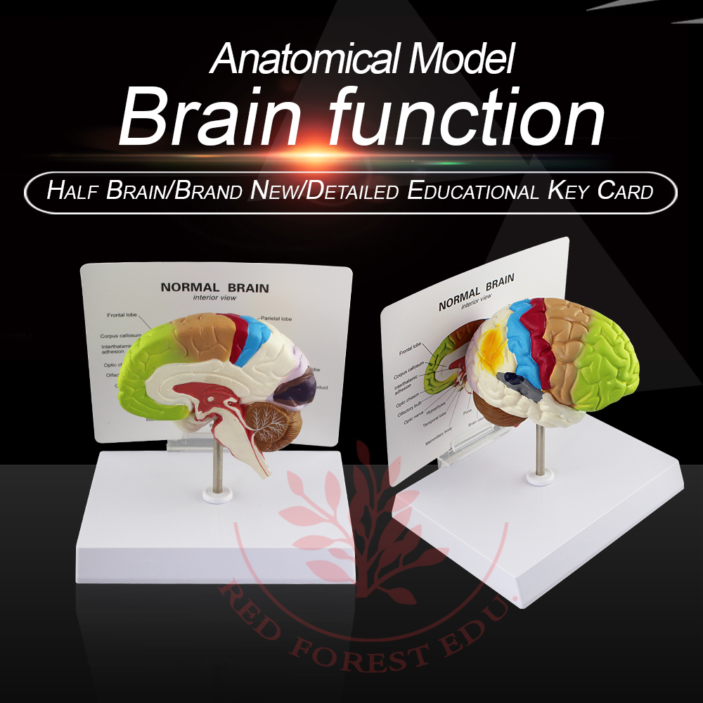 Brain function  model(color to partition) brain anatomical model brain mechanisms 1