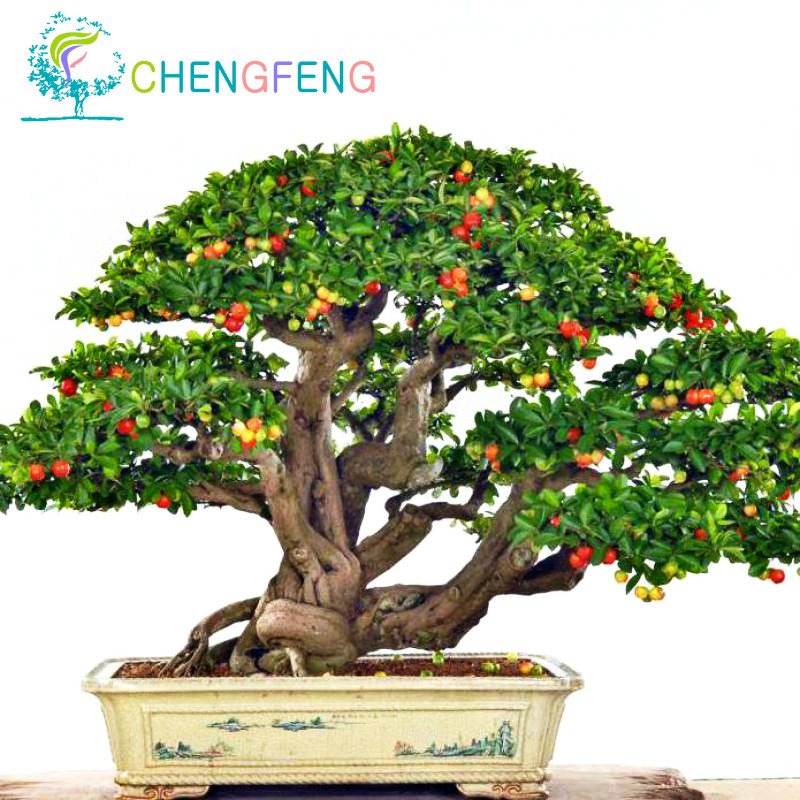 Indoor Plants Online #20: Upscale Indoor Plants Need Fruit Potted Taiwan Mini Pearl Cherry Seeds 10 Piece Bonsai Tree Seeds