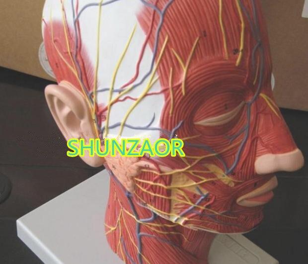 SHUNZAOR Menschlicher schädel mit muscle und nerven blutgefäß, kopf ...