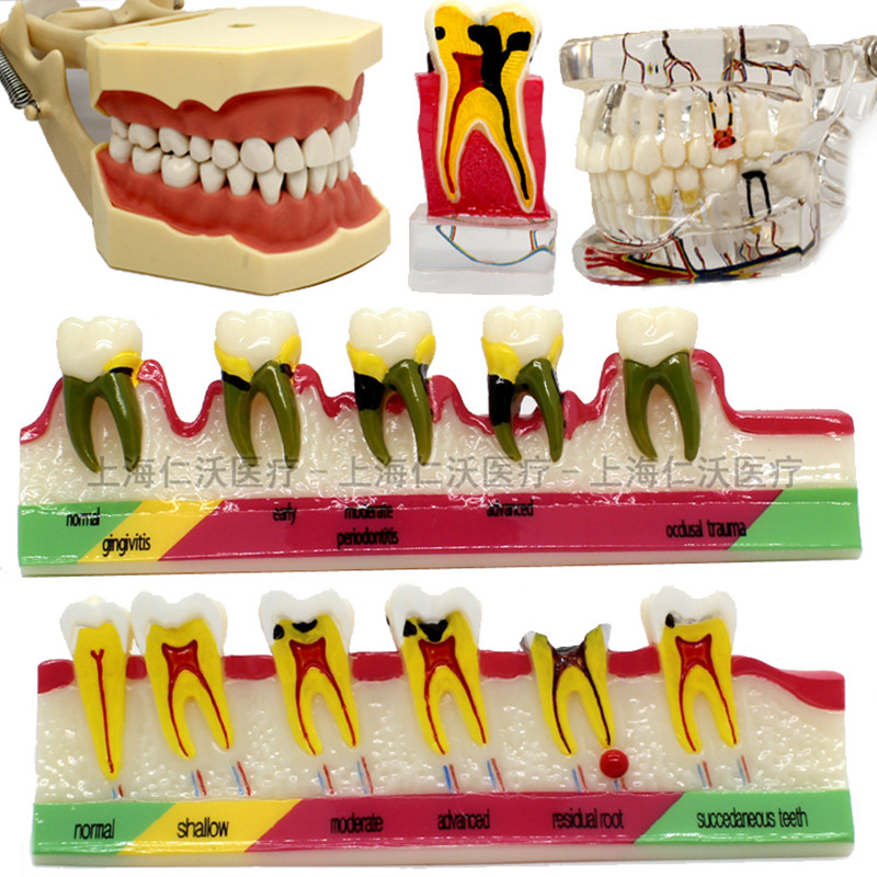 Various-Dental-Teeth-Models-Are-Used-For-Teaching-And-Hospital-Dentist-Material (1)