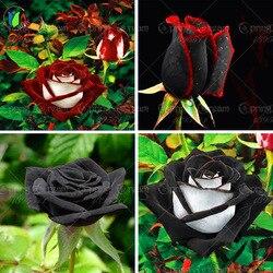 100 rare rose seeds black rose flower with red edge rare rose flowers seeds for garden.jpg 250x250