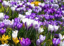 1 pc Saffron Bulb ,Saffron Flower Bulb ,Saffron Crocus Bulb , 1 bulb/pack