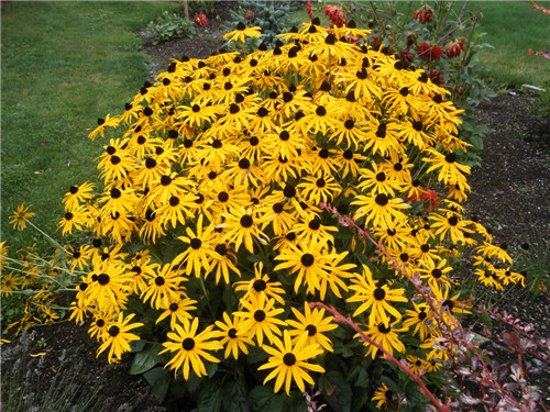 50 pieces rudbeckia fulgida gold bushy vigorous yellow daisies plant 50 pieces rudbeckia fulgida gold bushy vigorous yellow daisies plant flower seeds perennial for home garden in bonsai from home garden on aliexpress mightylinksfo