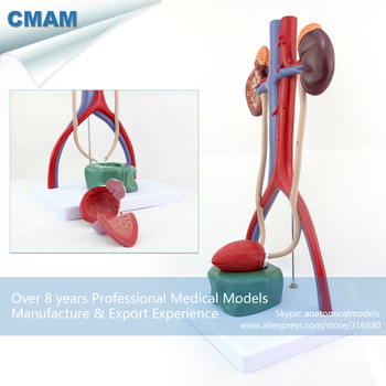 12425 / Human Anatomy Stereo Urinary System Organ Viscera Model, Medical Science Educational Anatomical Models