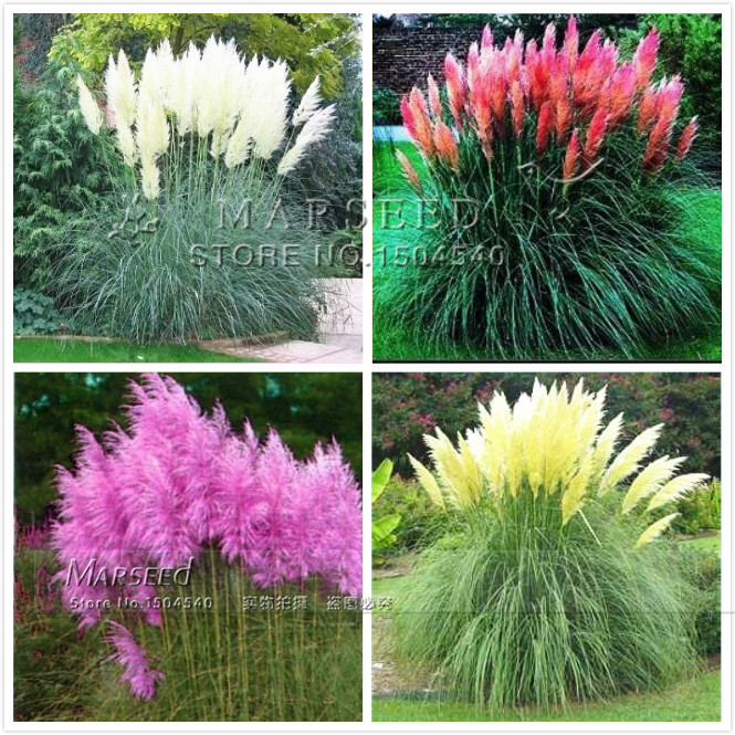 hot 4 colors ornamental pampas grass plant pot so beautiful diy home garden plant easy to grow. Black Bedroom Furniture Sets. Home Design Ideas
