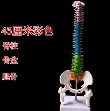 цена на 45cm Human spine mannequin 1:1 adult orthopedic exercise spine model / cervical vertebrae lumbar human color mannequin A263