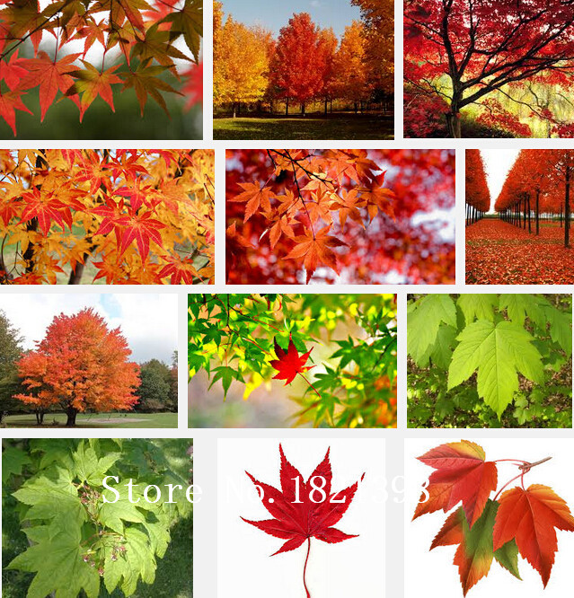 Red Yellow Orange Red Maple Tree Seeds, Professional Pack, 50Seeds / Pack, Acer Japan China America Maple Tree #NF580
