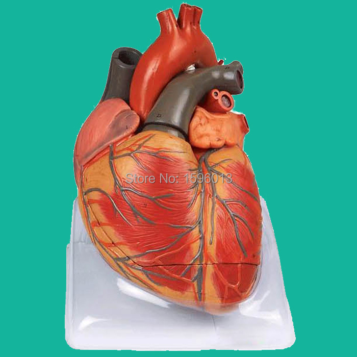 Enlarged Adult Heart Model,48 positions Displayed, Heart Anatomical Model vivid anatomical skin block model enlarged skin section model human skin model