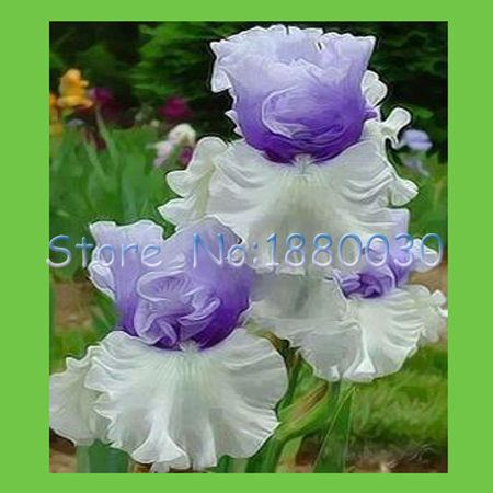 50PCS unique water white + blue flowers and purple Japanese iris seed & DIY home garden easy to survive
