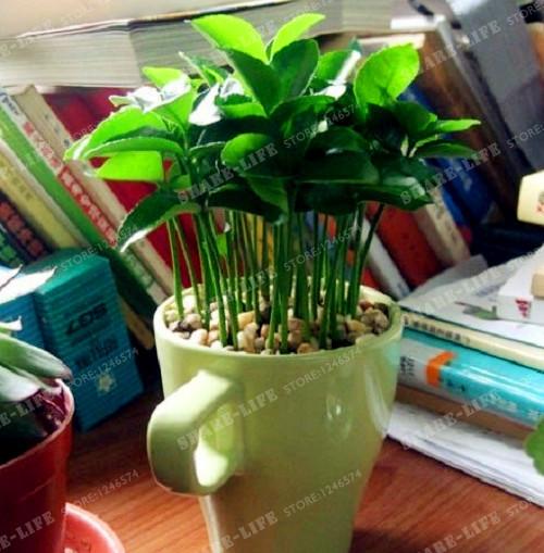 Lemon Tree High Survival Rate Bonsai Fruit Seeds For Home