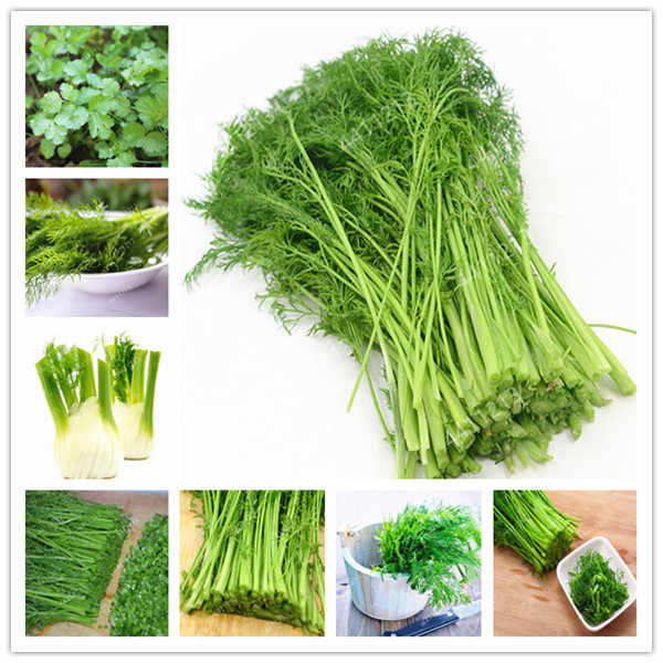 100pcs Fennel Foeniculum vulgare Perennial herb whole plant with a special spicy vegetable Chinese medicine spices