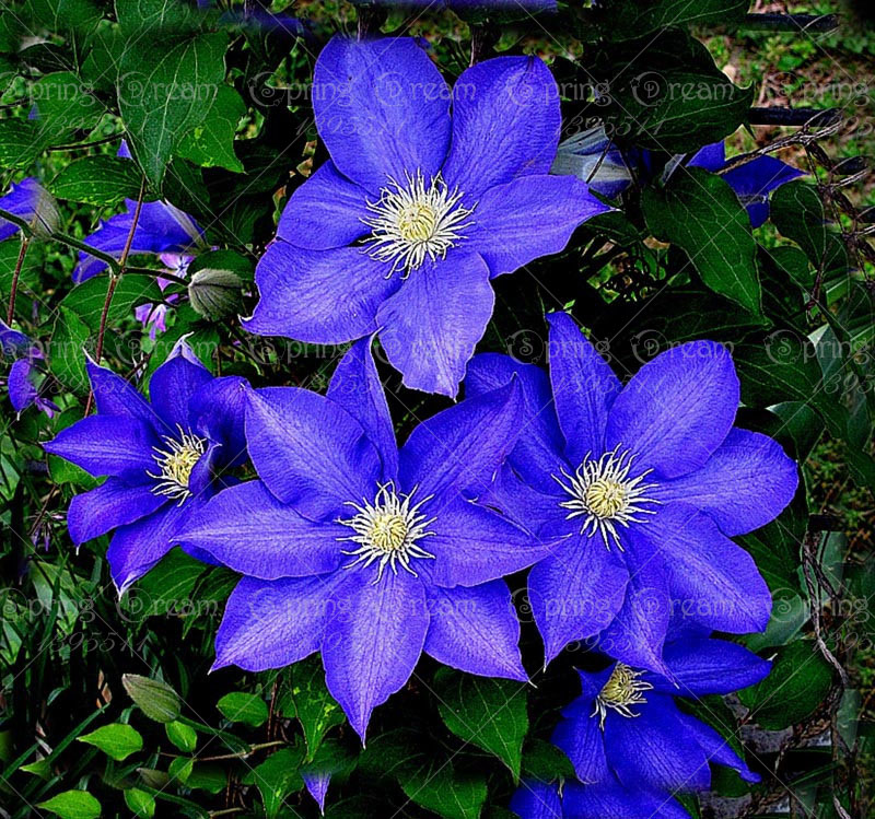 50 rare blue clematis hybridas seeds potted balcony. Black Bedroom Furniture Sets. Home Design Ideas