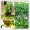 500 novas Sementes de Estévia, Sementes de plantas de Estévia Erva Verde, Stevia rebaudiana Semillas para o Plantio de Jardim sementes de erva chinesa barato
