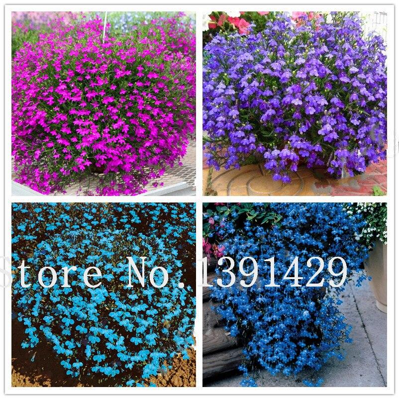 100pcs lobelia seeds, Garden indoor bonsai flower plant, (blue, purple. White. Pink) Diaopen flower garden decoration