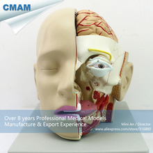 CMAM-BRAIN04 Full Size 4parts Half Brain Head Dissection Medical Model,  Medical Science Educational Teaching Anatomical Models