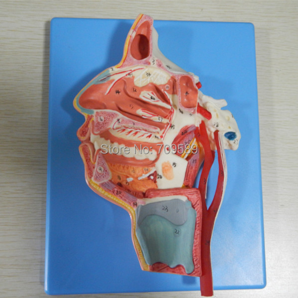 ISO Advanced Head Model, Mouth, Nose, Pharynx and larynx with Vessels and Nerves, Anatomy model human larynx model advanced anatomical larynx model