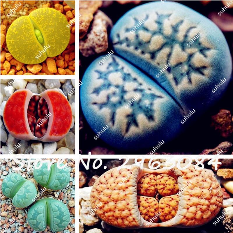 unids raras semillas lithops mix piedras vivas cactus suculentas bonsai semillas semillas de plantas suculentas
